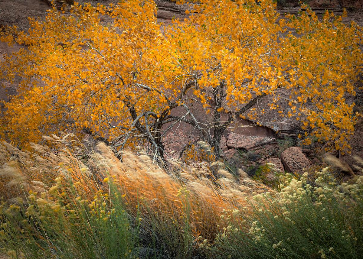 photo, picture, fall, autumn, hues, Fremont Cottonwood, trees, yellow, Populus fremontii, pose, Phragmites australis, Rabbitbrush, Ericameria nauseosa, wind, motion, breeze, photo