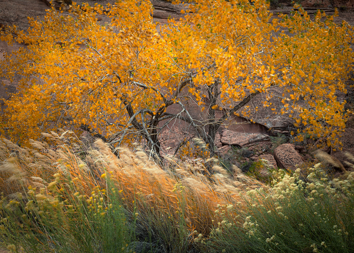 A pair of autumn-hued Fremont Cottonwood trees (Populus fremontii) pose with Phragmites australis and Rabbitbrush (Ericameria...