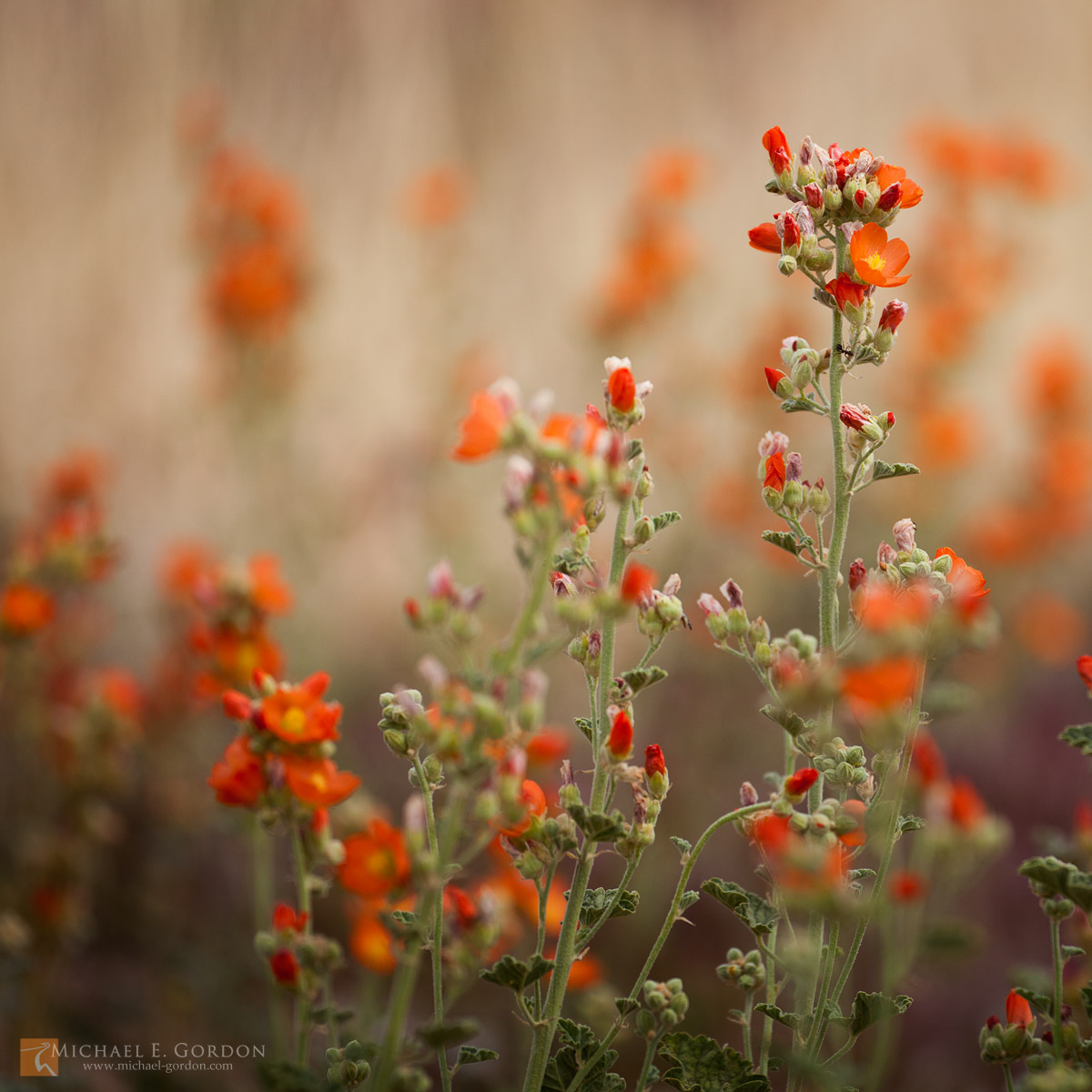 photo,picture,Desert Globemallow,Apricot Globemallow,Sphaeralcea ambigua,wildflowers,bloom,buds,orange,green,Mojave National Preserve,Mojave Desert,California., photo