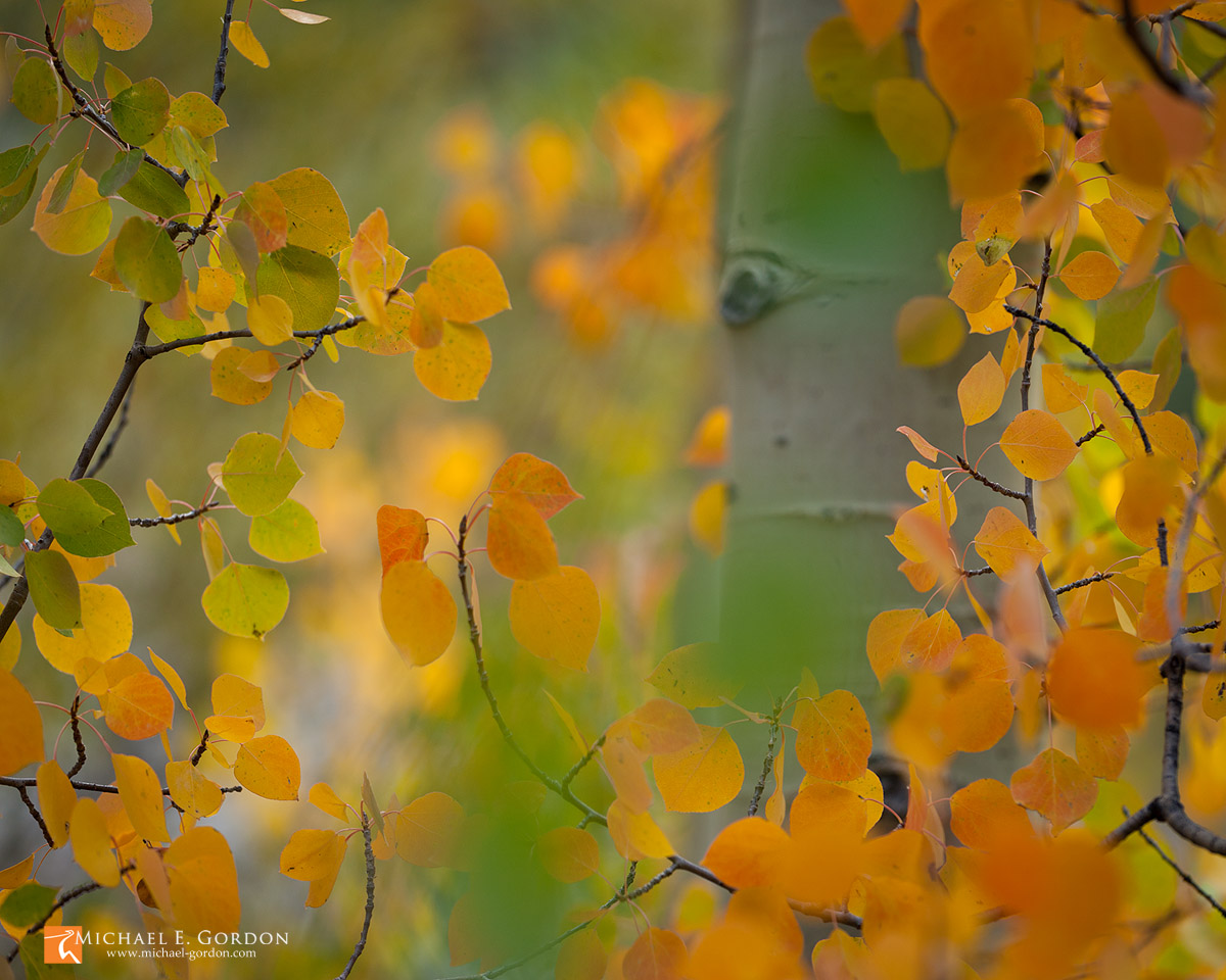 color,photo,picture,Aspen, tree,leaves,Populus tremuloides,autumn,fall,yellow,orange,red,gold,green,trunk,