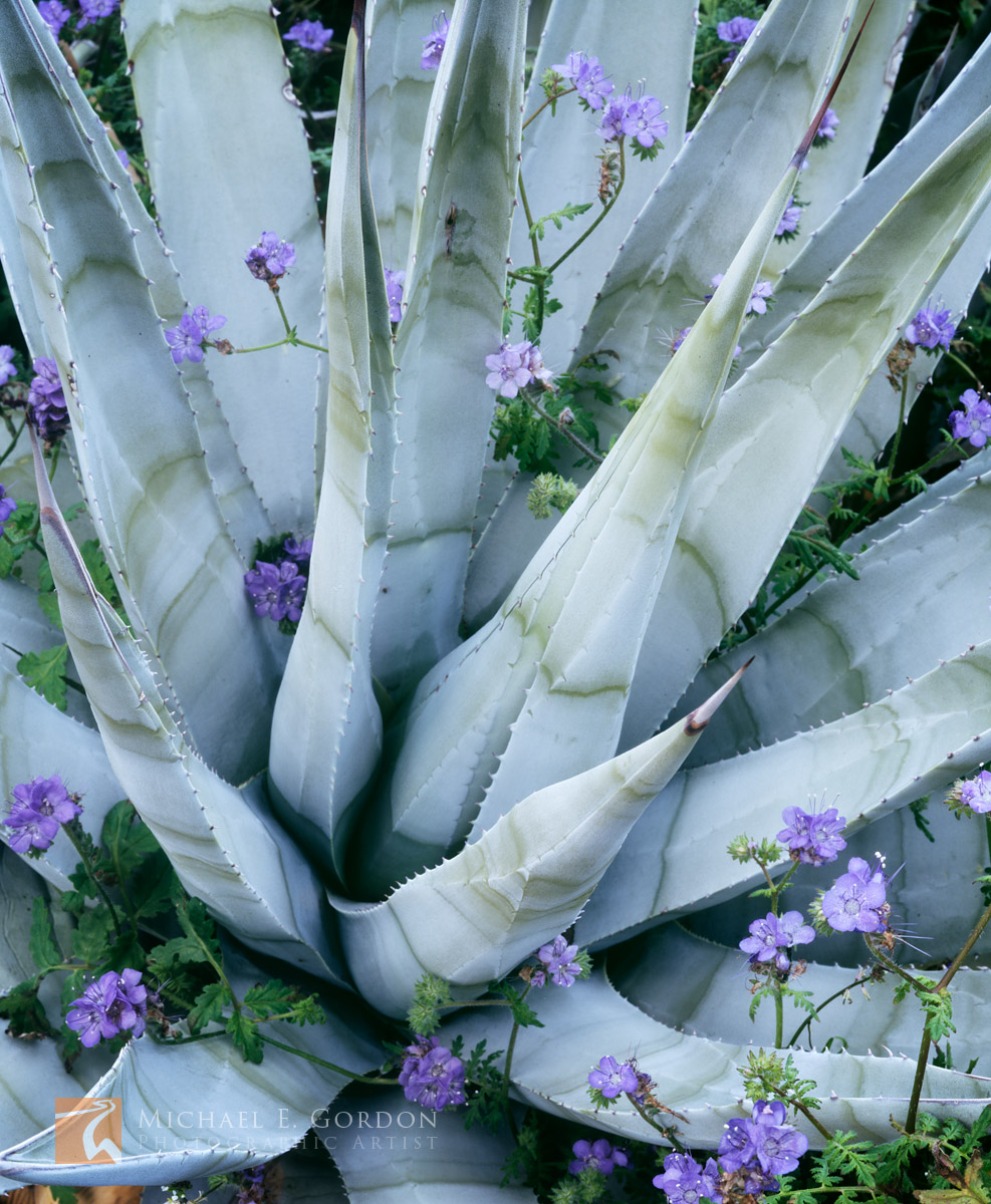 picture, photo, agave, phacelia, wildflowers, Anza Borrego, fine art print, photo