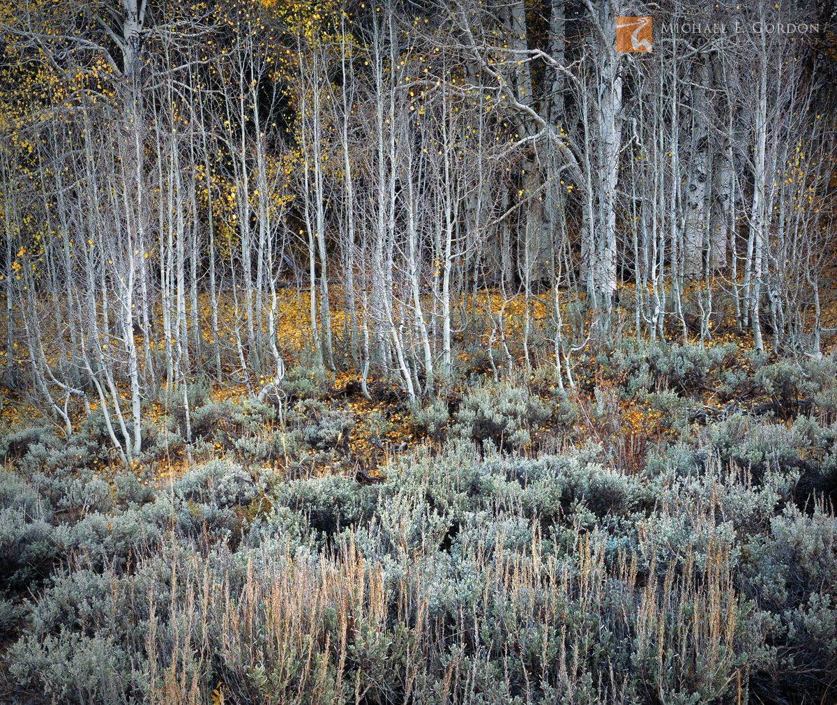 complementary, Big Sagebrush, Artemisia tridentata, Quaking Aspen, Populus tremuloides, Great Basin, late, autumn, leaves, clinging, trees, Eastern Sierra Nevada, California, photo