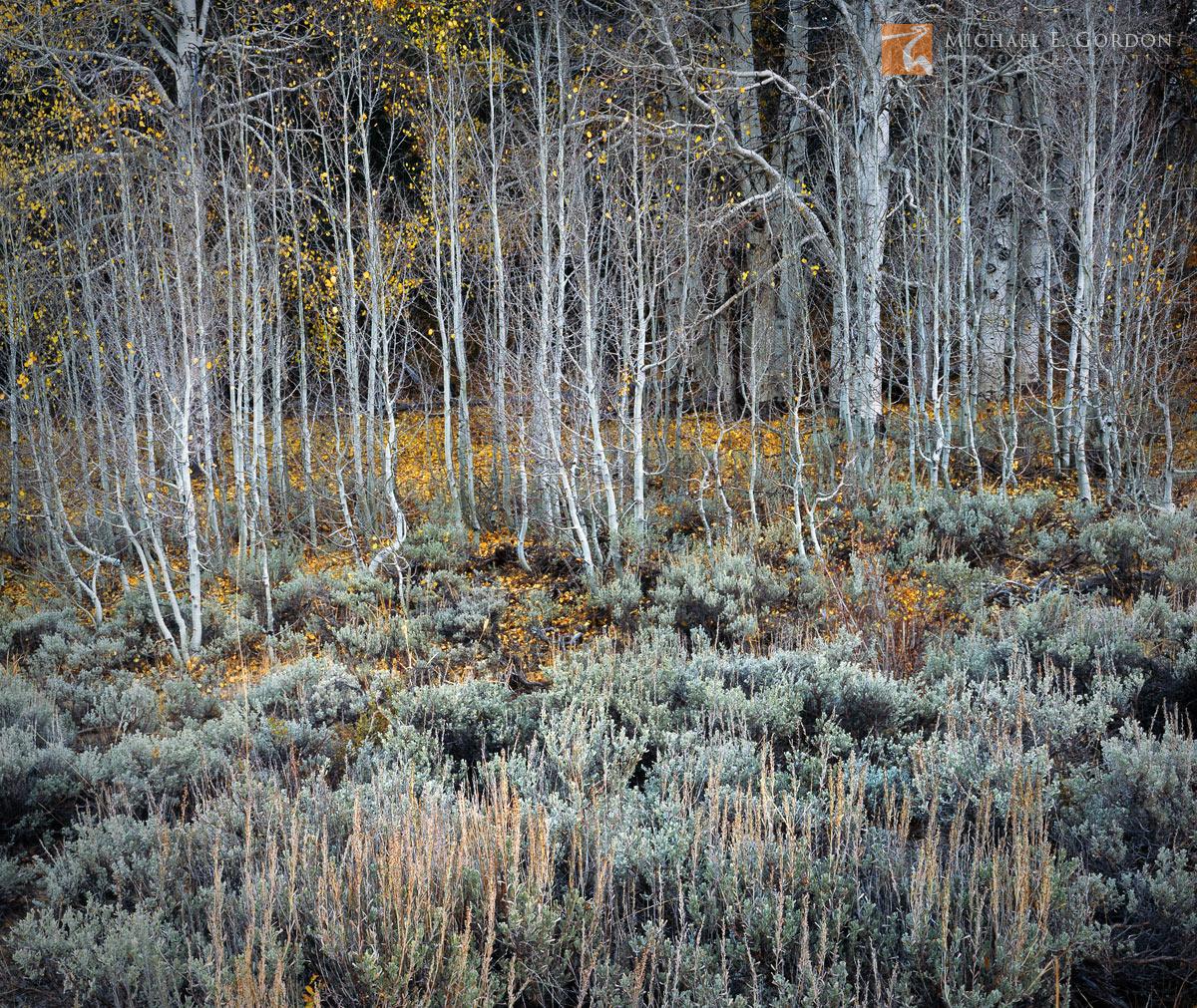 complementary, Big Sagebrush, Artemisia tridentata, Quaking Aspen, Populus tremuloides, Great Basin, late, autumn, leaves, clinging, trees, Eastern Sierra Nevada, California, photo