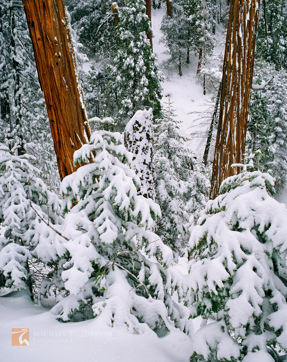 Incense Cedar trees (Calocedrus decurrens) buried in fresh snow.Logos and watermarks are not found on any printed product. This...