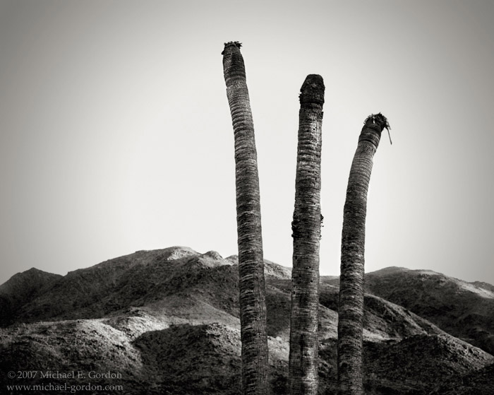 dead, palm  trees, Corn Springs Oasis, Chuckwalla Mountains, Washingtonia filifera, photo