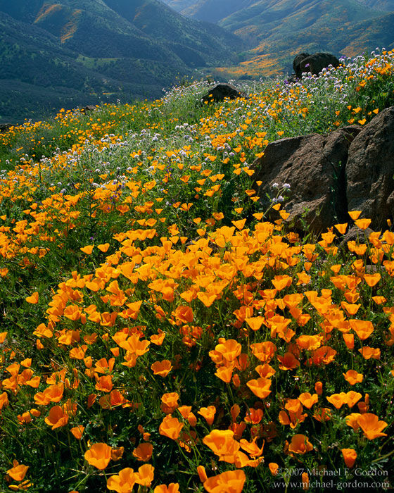 picture, photo, California poppies, poppy, wildflowers, mountains, green hills, landscape, fine art print, photo