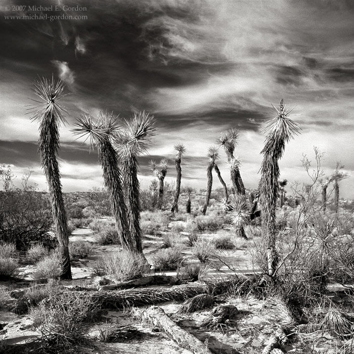 Joshua, trees, Yucca brevifolia, Mojave,desert, clouds, sky, cirrus, b/w, black and white, large format, fine art, photograph, print, picture, photo